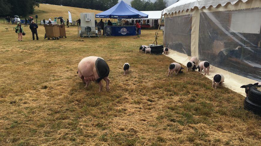 Le porc cul-noir du Limousin est à l'honneur ce samedi et ce dimanche sur L'île de Vassivière .