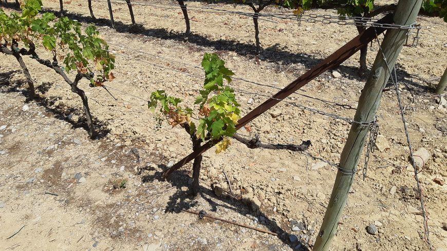 Un plant de vigne à Rochecolombe très assoifé