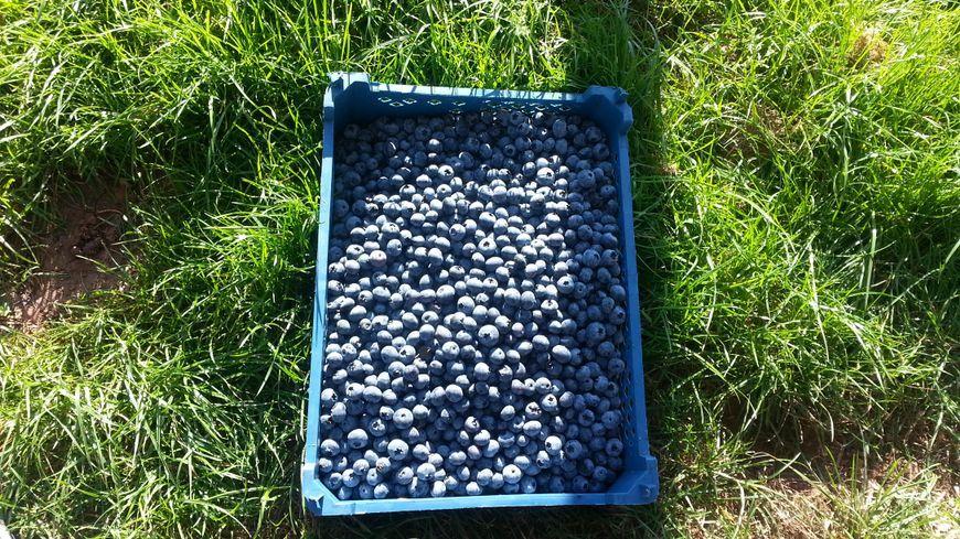 Une centaine de kilos de bluets au total ont été dérobés à un producteur de Saint-Michel-sur-Meurthe