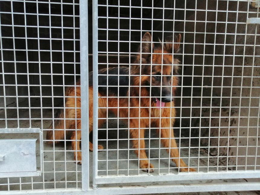 Ce berger allemand attend l'adoption dans son box