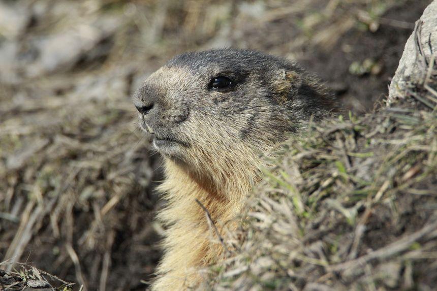 une marmotte sort de son terrier
