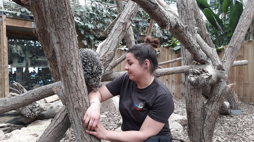Sarah soigneur aux jardins animaliers Biotropica à Val-de-Reuil avec un coendou (27)