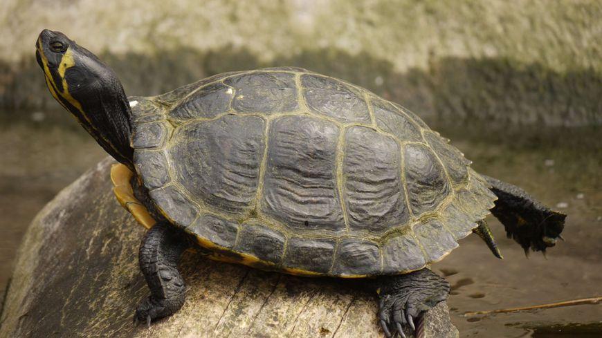 Tortue de Floride aux jardins animaliers Biotropica à Val-de-Reuil (27)