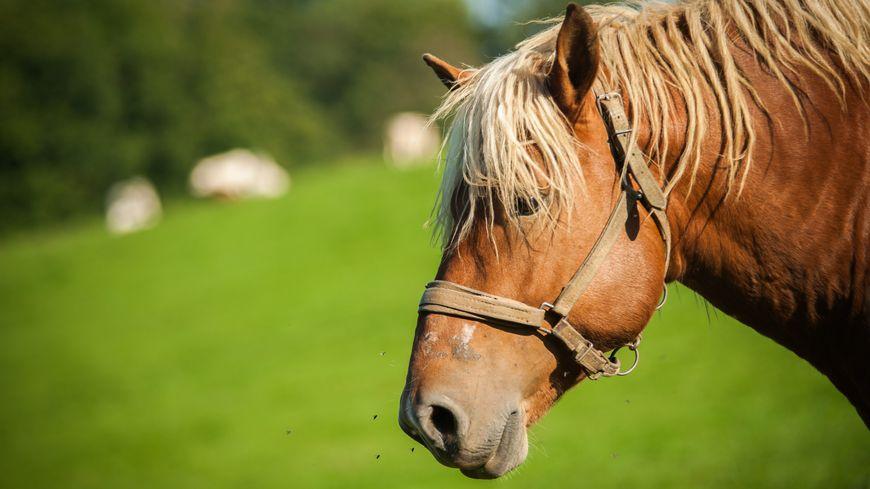 Un cheval comtois (illustration)