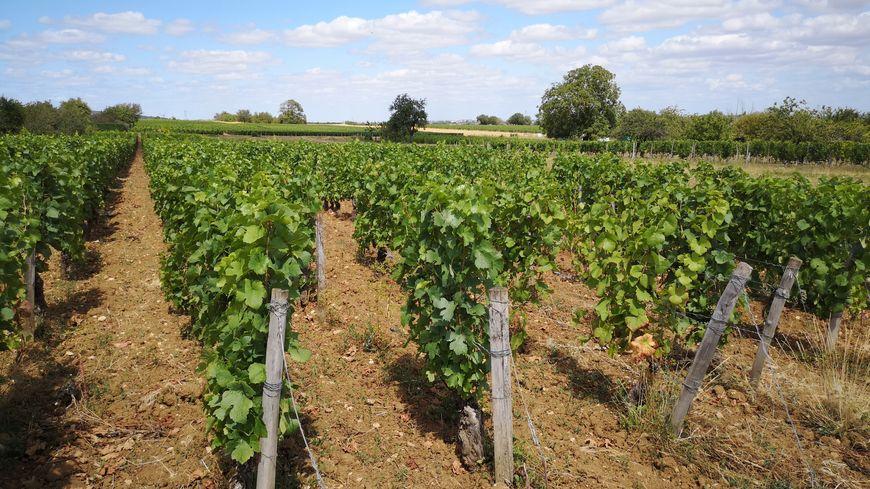 Cette année, c'est autour du 18 septembre que les viticulteurs Côte-d'Oriens prévoient de commencer les vendanges