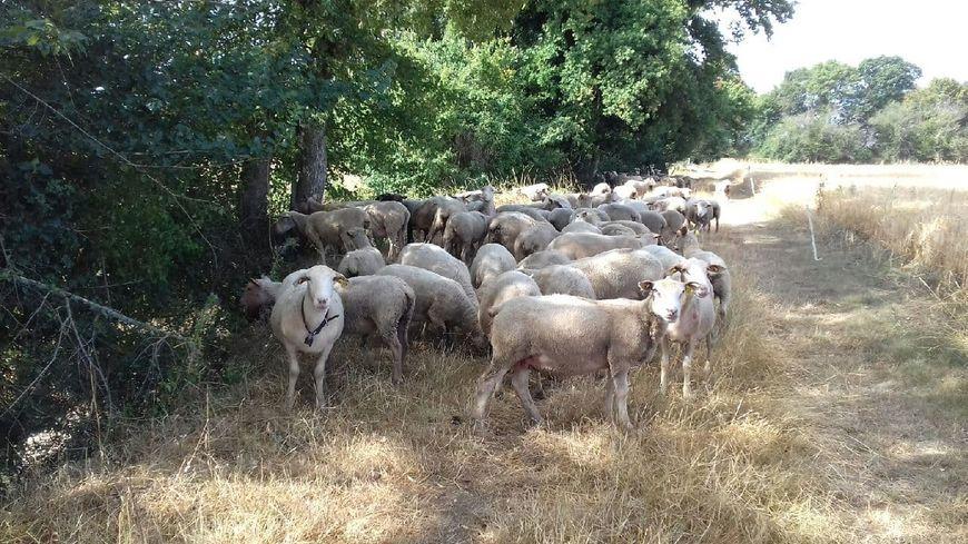 Le troupeau de brebis a été retrouvé ce mardi matin
