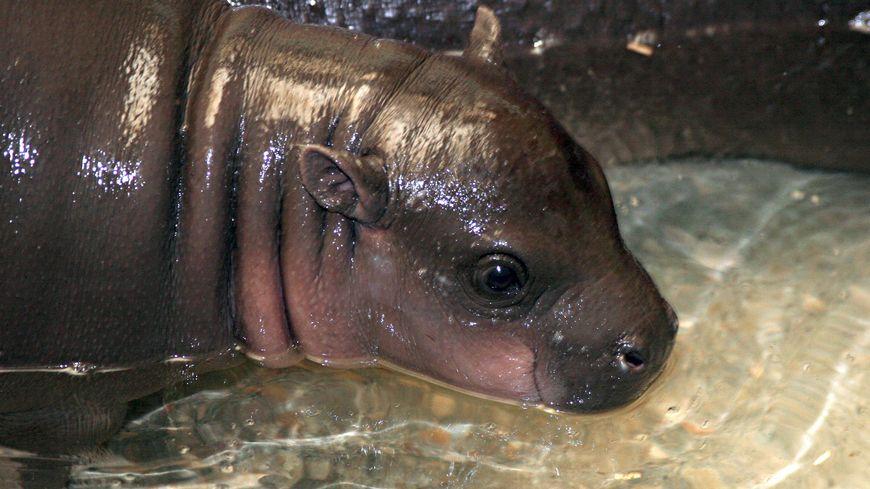 L'hippopotame pygmée, aussi appelé hippopotame nain pèse entre 200 et 300 kilos