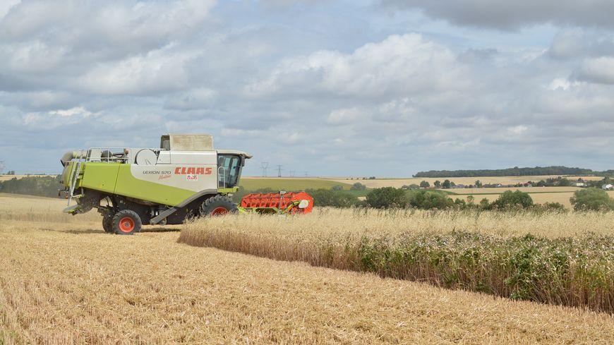A cause de la sécheresse, la récolte de maïs s'annonce désastreuse.