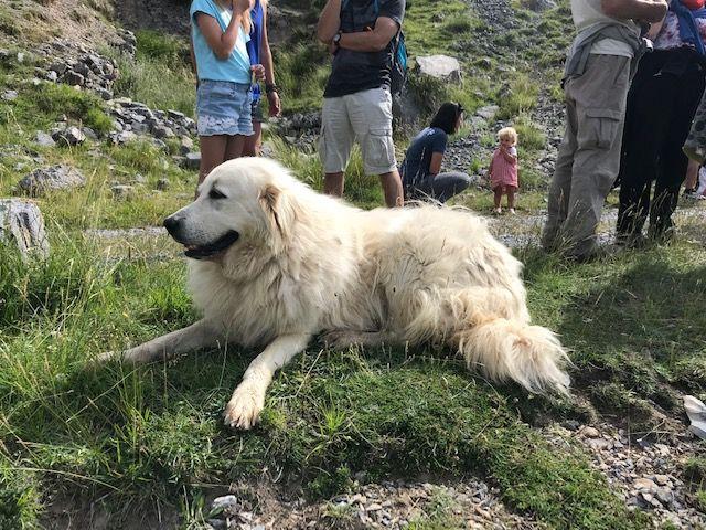 Le patou dans la montagne
