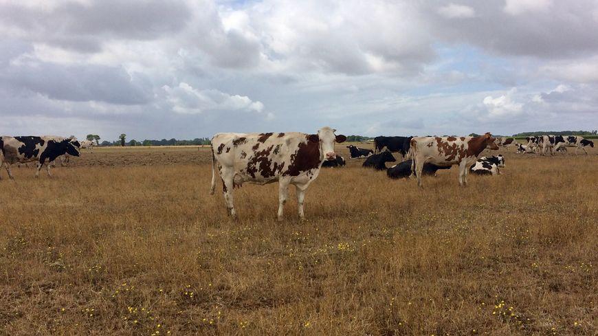 Dans le sud de la Mayenne, la sécheresse et la canicule ont brûlé l'herbe et endommagé le maïs.