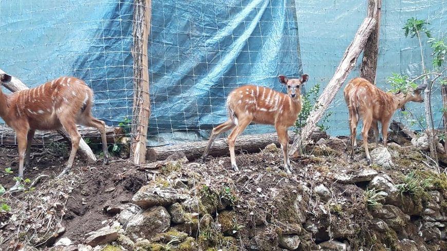 Les antilopes sont arrivées dans la nuit du lundi 29 au mardi 30 juillet