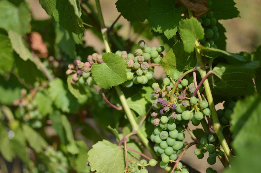 En Moselle, les vignes ont souffert de la canicule.