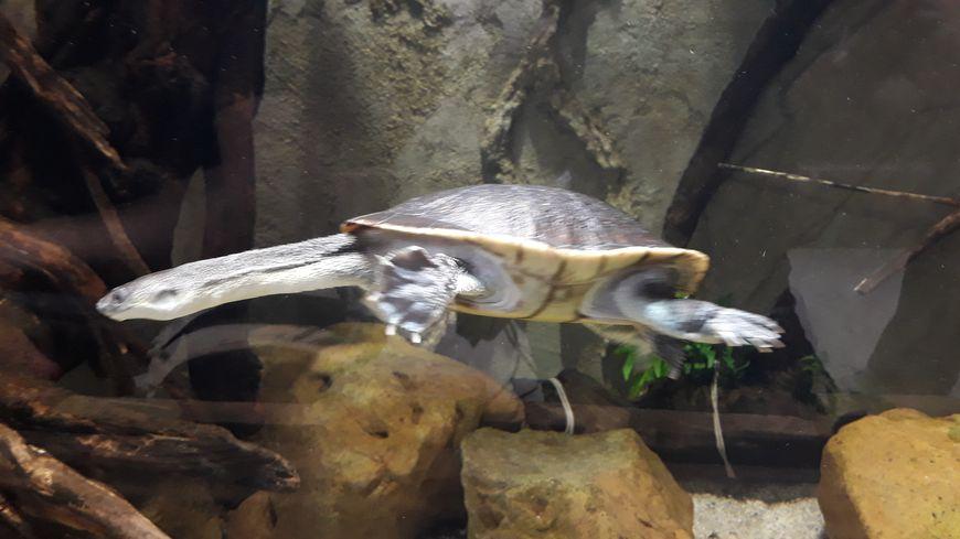 Tortue à cou de serpent aux jardins animaliers Biotropica à Val-de-Reuil (27)