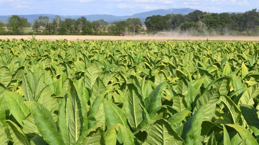 La coopérative Périgord Tabac réunit 85 producteurs de Dordogne. Photo d'illustration