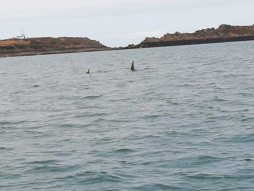 La pointe du Grouin en fond, les dauphins cherchent de la nourriture en groupe
