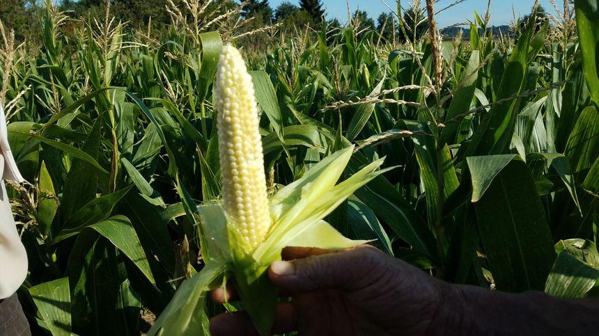 Cet épi n'est pas encore à maturité, alors que la récolte était prévue début septembre.