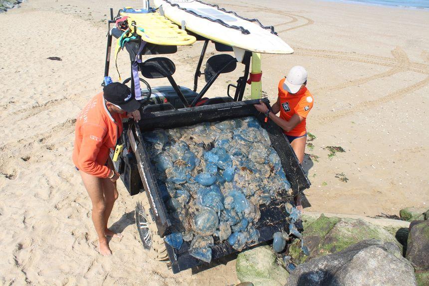 Les méduses sont ensuite versées dans la digue puis recouvertes de sable. Même si l'endroit est interdit d'accès au public, les sauveteurs appellent à la prudence