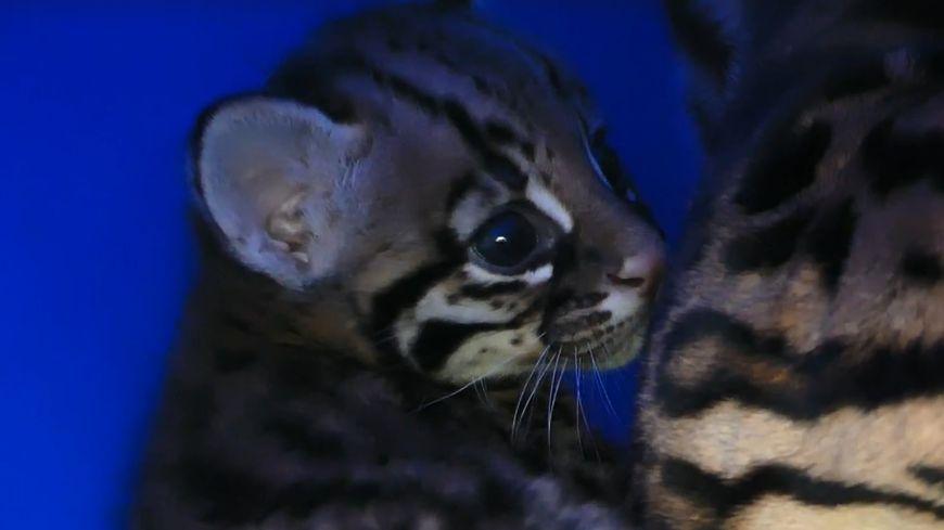 La petite Maya est née en captivité le 14 juin 2019 au zoo d'Asson.