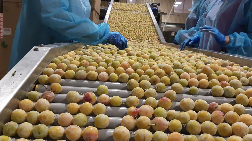 Vegafruits, la trieuse