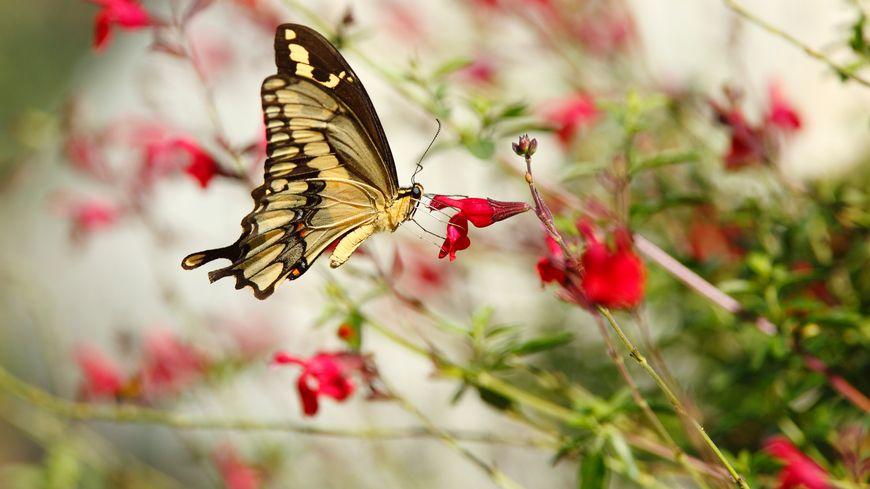Papillon Machaon sur fleurs sauvages
