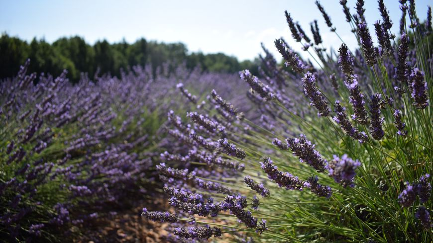 La lavande de Provence