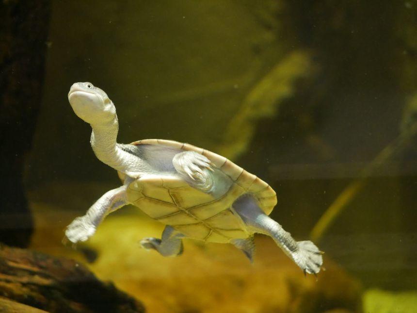 La tortue à cou de serpent aux jardins animaliers Biotropica à Val-de-Reuil (27)