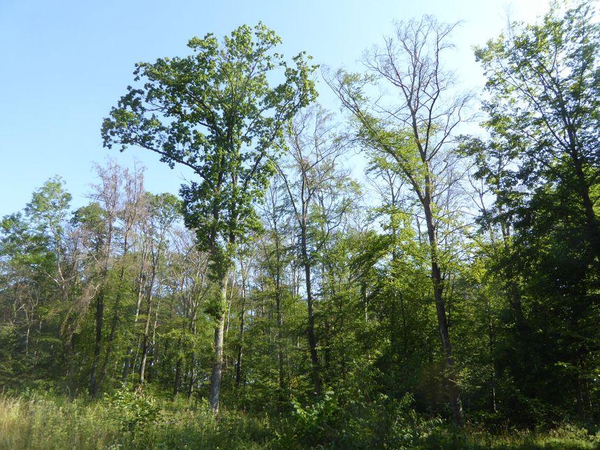 Dépérissement des hêtres en forêt de Haute-Saône