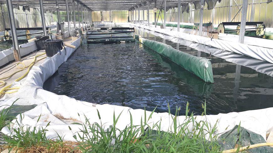 Une eau à 40 degrés sous serre  : le bain idéal pour cette algue verte microscopique qui tire aussi sur le bleu