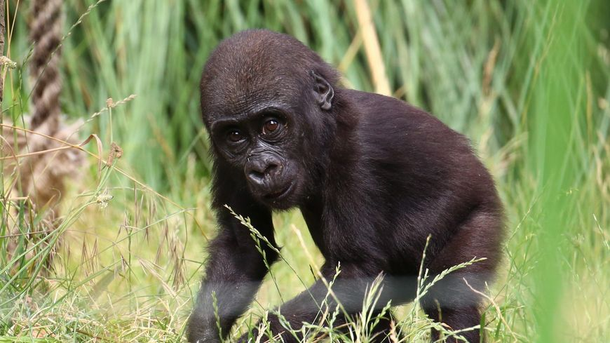 La polyarthrite est une maladie rare chez les gorilles (illustration), surtout quand ils ont trois ans comme Yamba, le jeune du zoo de Beauval