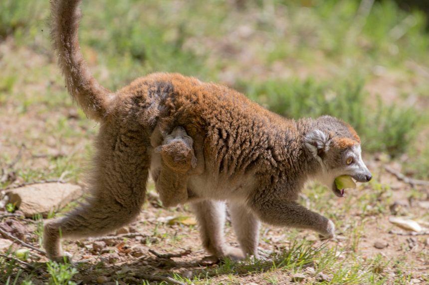 Maki Catta et son bébé au Parc animalier d'Auvergne