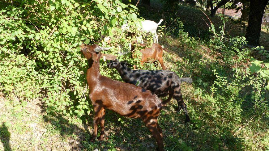 Les chèvres de la ferme pédagogique la Bicoque à Echevis