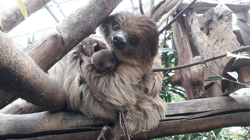 Le paresseux et son bébé aux jardins animaliers Biotropica à Val-de-Reuil (27)