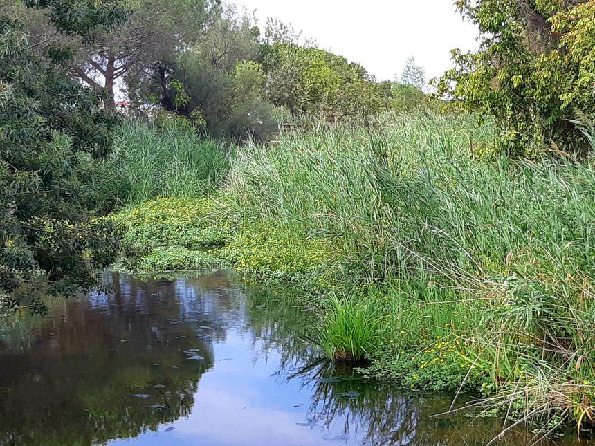 Les Jussies colonisent rapidement les eaux stagnantes