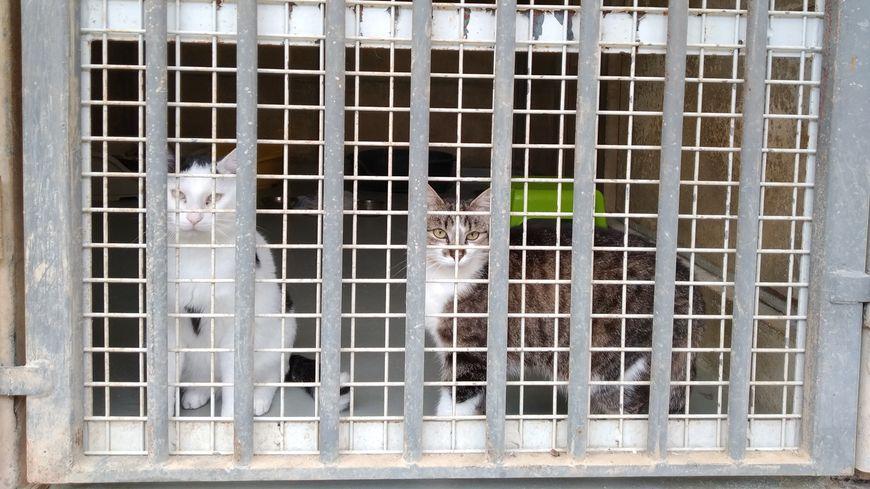Sur douze chats contaminés un seul a véritablement déclaré la maladie