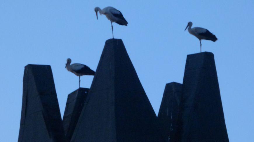Trois cigognes perchées sur le toit de l'espace André Lejeune