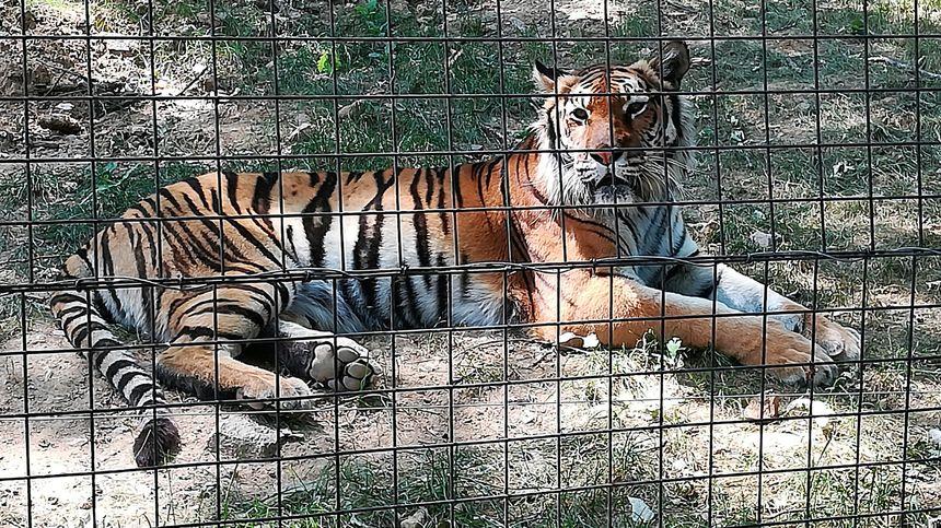 Tigre du Parc animalier d'Auvergne