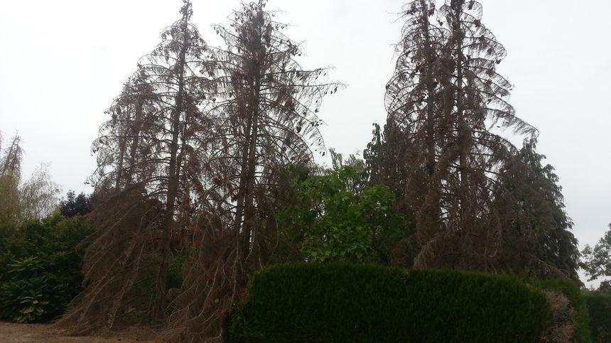Le Picea Exelsa  risque de disparaître du Berry