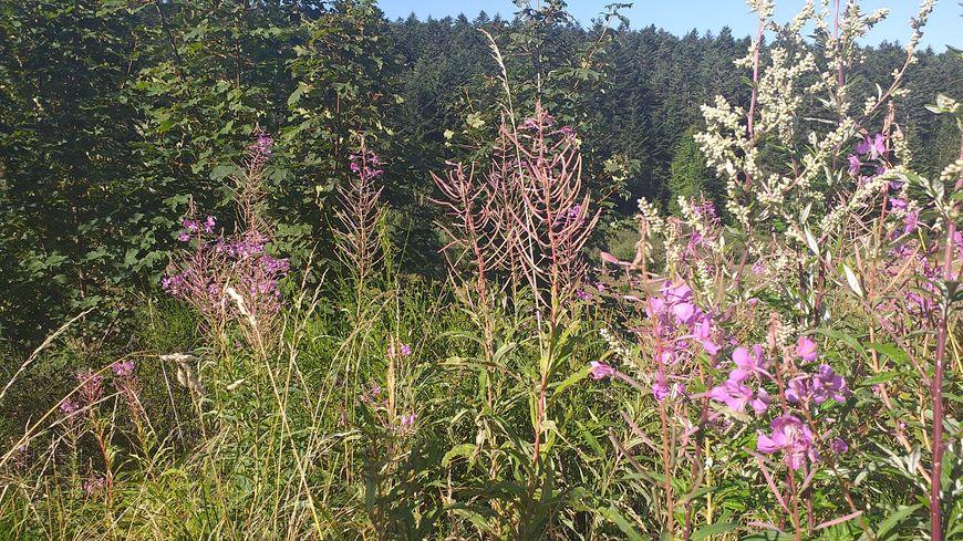 L'épilobe est une des plantes comestibles présentes dans le Pilat.