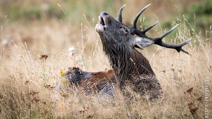 Le brâme du cerf, un moment attendu par tous les passionnés de la nature