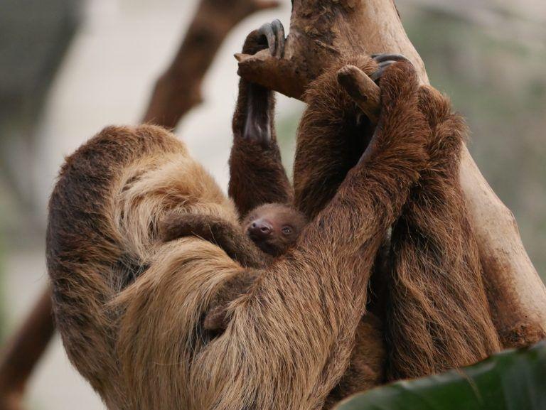 Bébé paresseux aux jardins animaliers Biotropica à Val-de-Reuil (27)