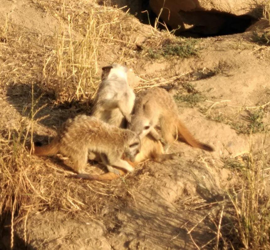 Les suricates, les chouchous de Patricia...Mais attention ne les papouillez pas!