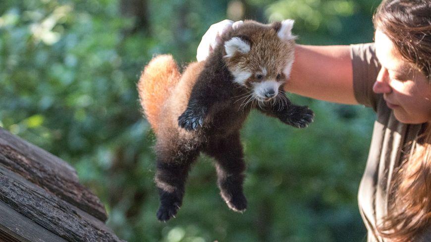 Clémence aux petits soins pour Shifumi, la femelle panda roux du parc animalier d'Auvergne