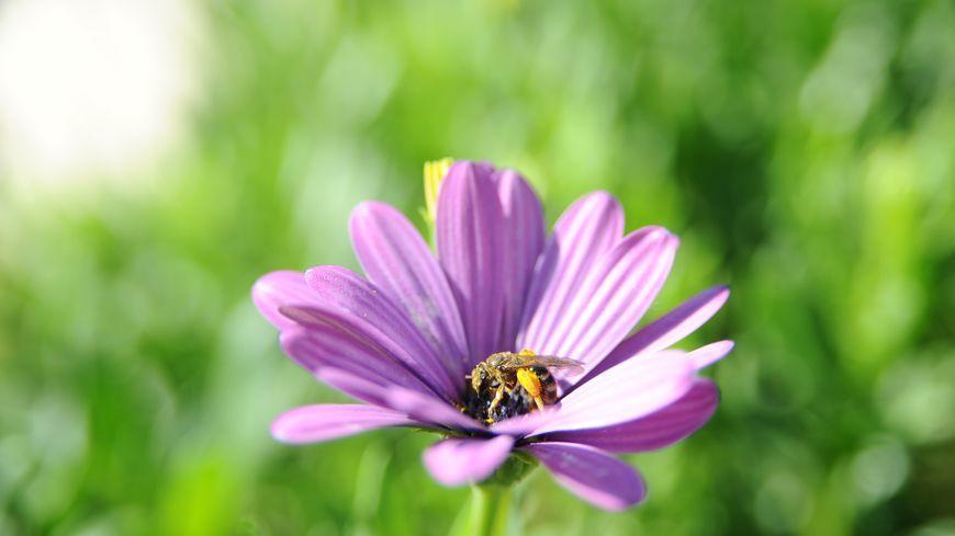 Le floraison aura été médiocre avec la forte sécheresse, surtout la canicule de juin, et les abeilles n'ont pas trouvé assez à butiner