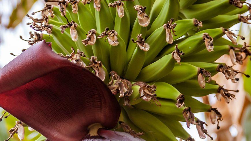 Des bananes qui poussent en pays catalan