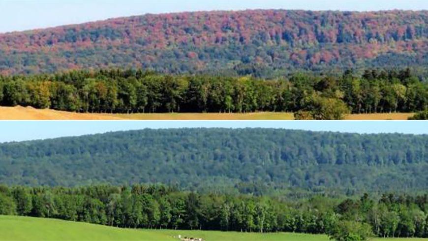 Montage photo avant/après sécheresse sur une forêt de hêtres
