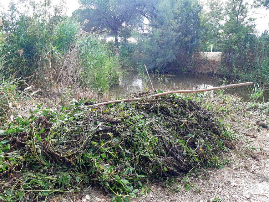 Une fois arrachées, les Jussies sont stockées sur la berge pour sécher