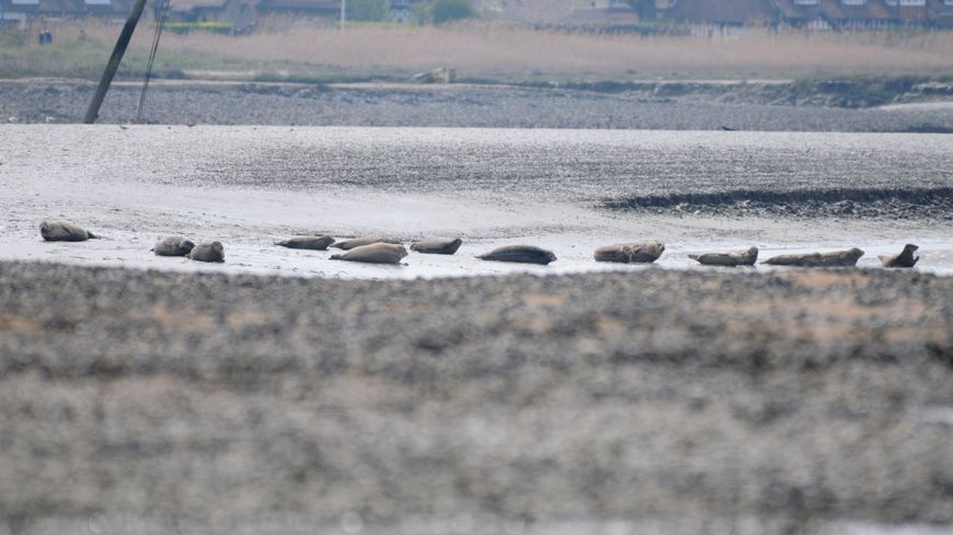 Si loin, si proche : on compte une quinzaine de phoques veaux-marins dans la baie de l'Orne