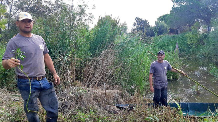 Les racines des Jussies peuvent atteindre plus d'un mètre de long