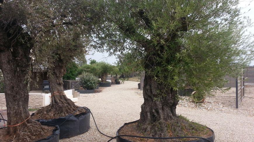 Certains sont tentés de planter de plus en plus d'essences méditerranéennes en Berry, mais il faut rester prudent.