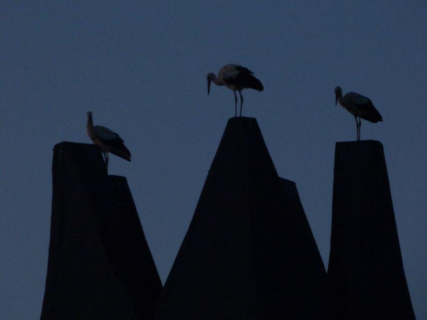 Plusieurs témoins racontent avoir vu des cigognes à Guéret.